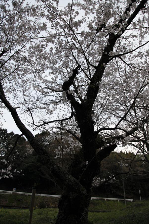 堂々たる桜